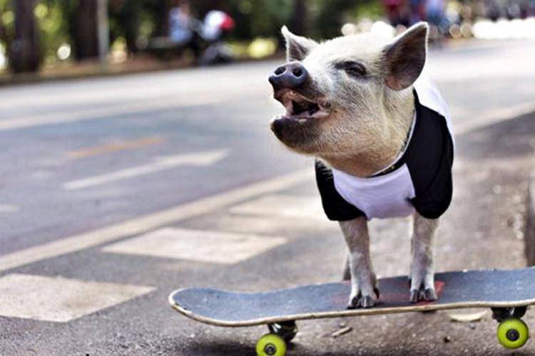 Porc pe skateboard. VIDEO extrem de amuzant