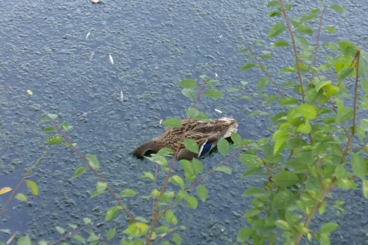 Rațe sălbatice moarte pe lacul mic de lângă Iulius Mall. Poluare? - FOTO