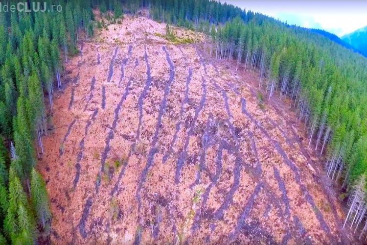 O pădure din Beliș a dispărut peste noapte! Hoții se joacă cu pădurarii: Nu-i prind pentru că nu se vrea