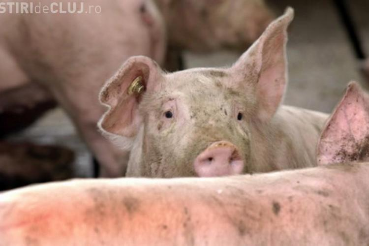 Peste porcină s-a extins într-un județ vecin cu Clujul