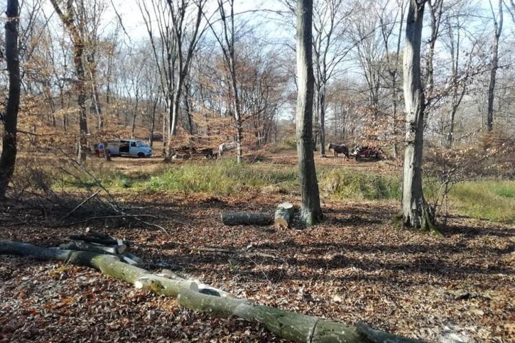 De ce se taie copacii din pădurea Hoia - FOTO