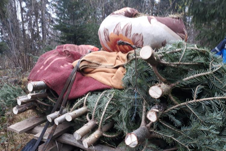 Hoți de brazi, prinși în flagrant de jandarmii clujeni. Tăiaseră pomi de Crăciun în valoare de peste 27.000 de lei FOTO