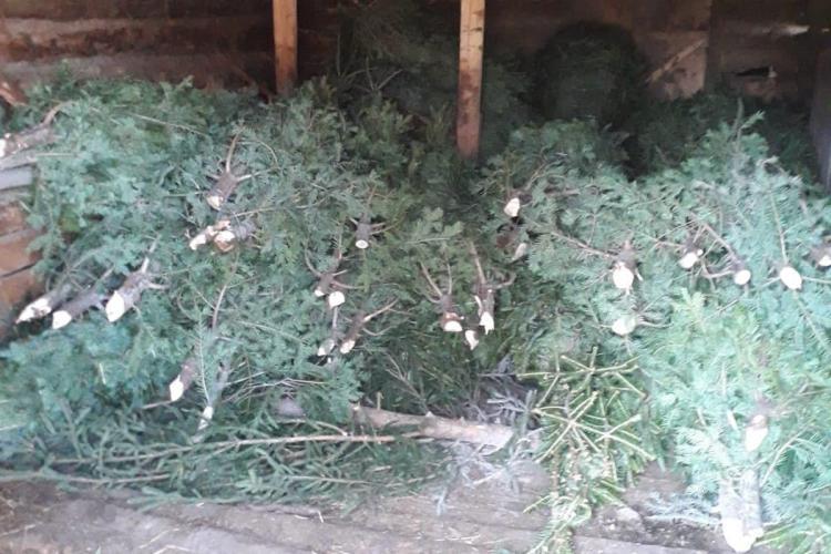 Hoții de brazi deja au început să apară la Cluj. Polițiștii au confiscat aproape 250 de pomi de Crăciun abandonați FOTO