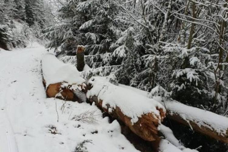 Zeci de metri cubi de lemn tăiat ilegal descoperiți în pădure, la Cluj FOTO