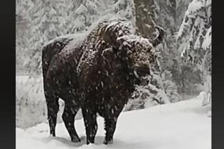 Imagini superbe cu un zimbru în libertate, în pădurile din Parcul Natural Vanatori Neamț - VIDEO