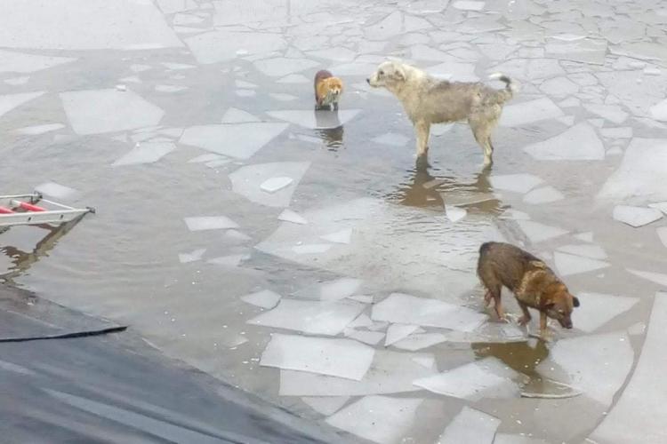 Vulpi sălbatice salvate de pompierii din Cluj de pe un canal înghețat - VIDEO