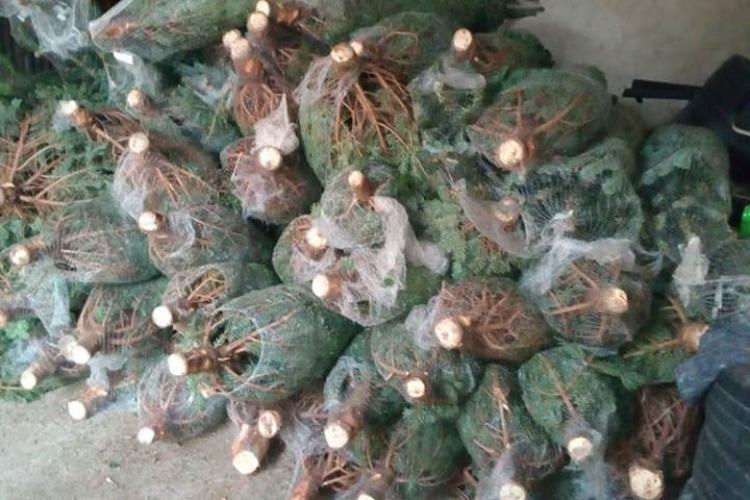 Zeci de pomi de Crăciun confiscați de polițiștii clujeni, în doar o zi FOTO