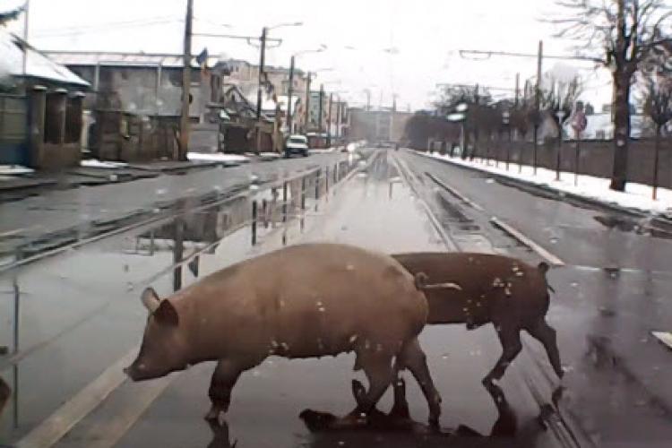 Porci lăsați liber pe stradă, în Cluj-Napoca, ca în ghetouri - VIDEO