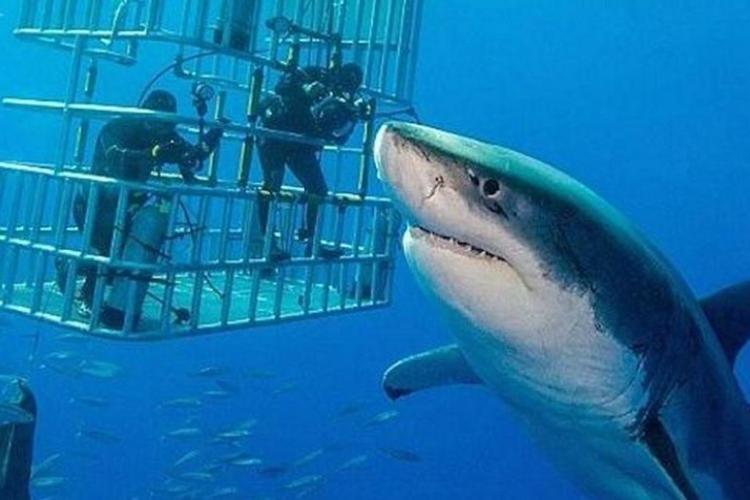 Rechinul Deep Blue, cel mai mare rechin alb identificat, filmat după 5 ani - VIDEO