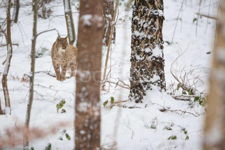 Imagini rare: Un râs ieșit la vânătoare, filmat în Parcul Natural Apuseni - VIDEO