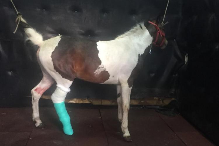Cluj: Eston, calul de 5 ani pentru care s-au strâns fonduri, a fost operat cu succes