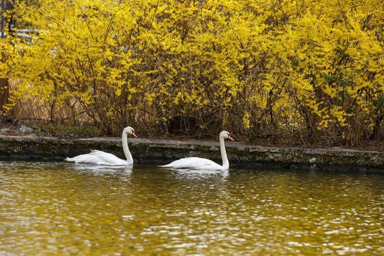Lebedele albe au revenit pe lacul Chios, din Parcul Central FOTO