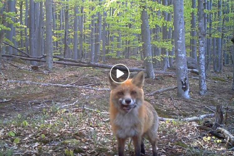 Vulpe curioasă, filmată în Parcul Național Semenic - Cheile Carașului - VIDEO