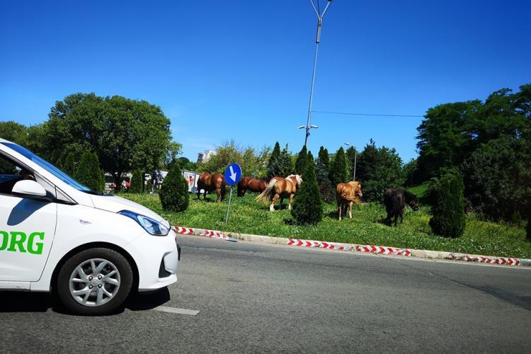 O herghelie de cai paște în sensul giratoriu de la Cora - FOTO