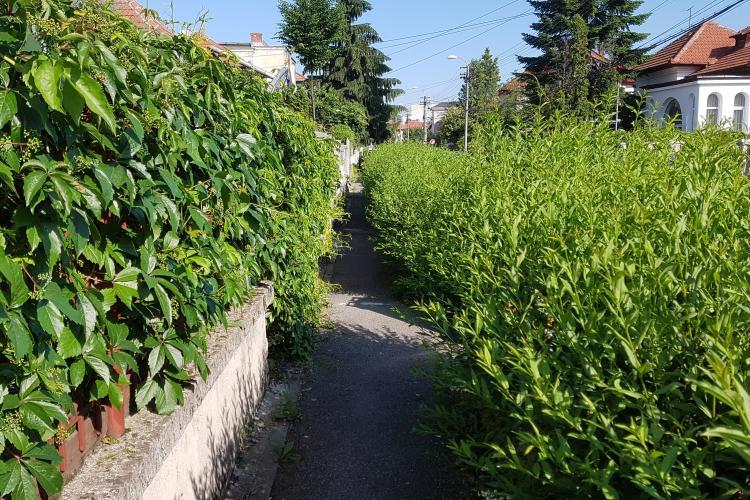 Primăria Cluj-Napoca a UITAT să tundă gardul viu prin Andrei Mureșanu - VIDEO