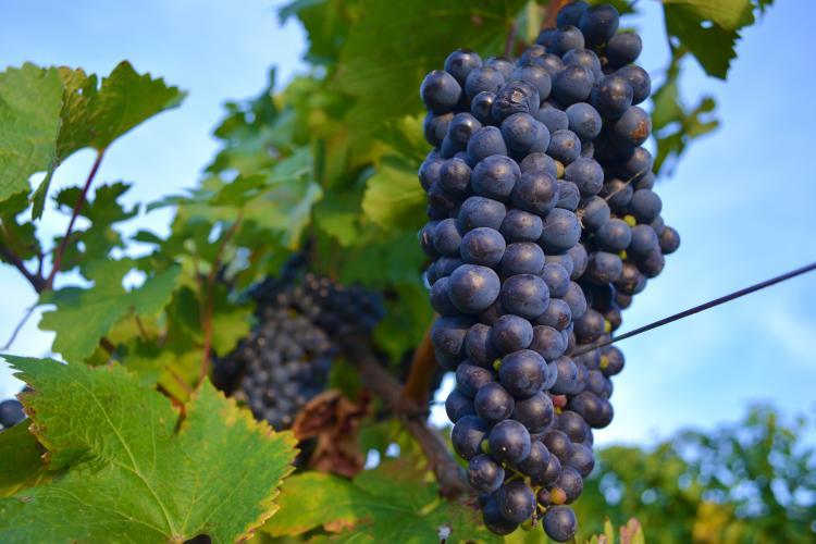 Cum se produce vinul roze în propria gospodărie – sfaturi de la specialiștii Jidvei