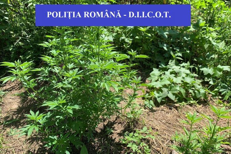 Percheziție la o fermă de canabis din județul Cluj - FOTO