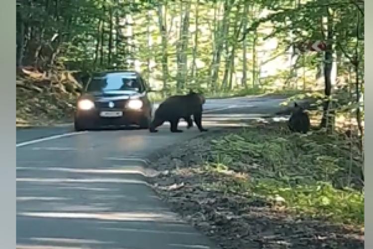 Ce face acest șofer român când în față i-a apărut o ursoaică și puiul ei - VIDEO