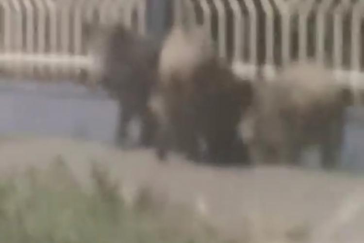 Mistreți pe DN1 spre Florești. Animalele erau speriate - FOTO