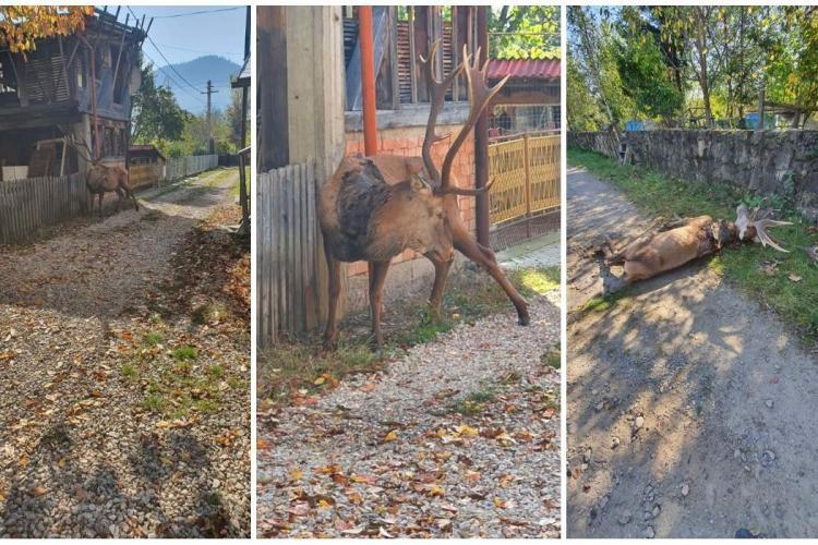 Povestea TRISTĂ a cerbului care a coborât din pădure ca să moară între case - FOTO