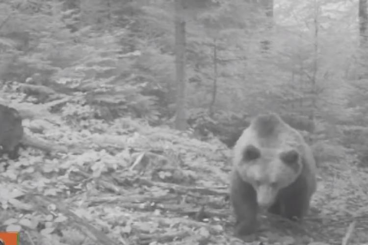 Momentul în care o ursoaică descoperă camera de monitorizare din Parcul Natural Apuseni - VIDEO