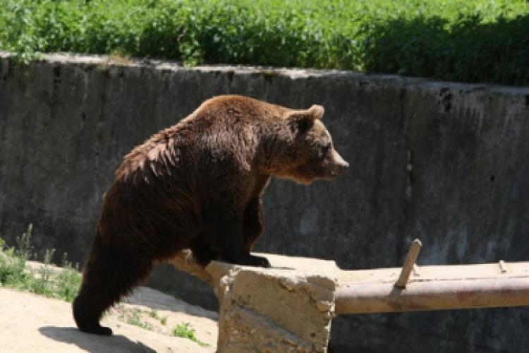 Urs lovit de mașină pe Autostrada Turda-Borș
