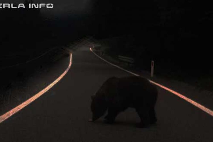 Urșii au apărut și la Gherla. Un șofer era să lovească un animal pe centura ocolitoare, la Bunești