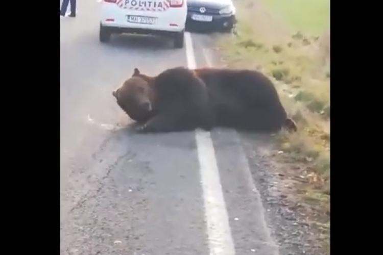 Ursul care a agonizat 16 ore pe şosea a fost ucis. În ce lume defectă trăim? - VIDEO