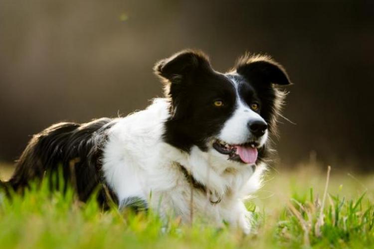 Un câine a înfruntat flăcările din Australia pentru a salva o turmă de oi - VIDEO