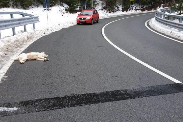 Câine împușcat pe un drum din Maramureș de un șofer. Autorul a fost fotografiat și trebuie identificat - FOTO