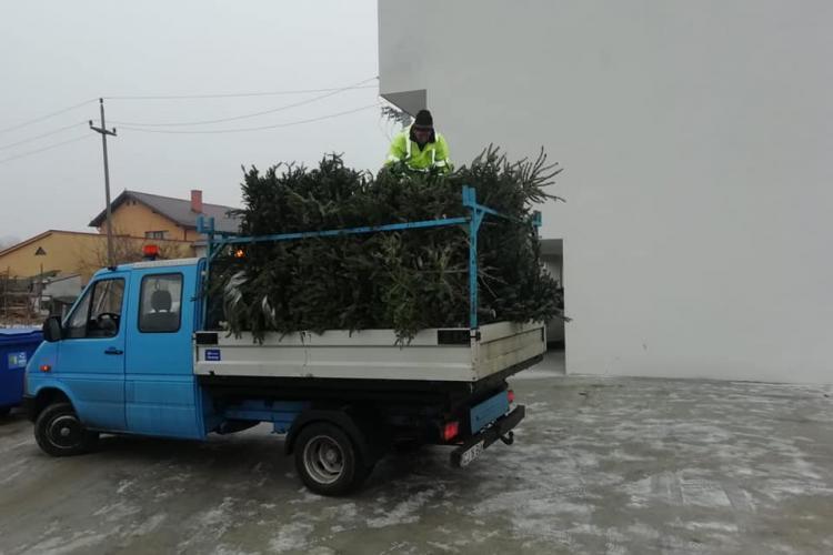 Brazii de Crăciun se colectează gratuit în Florești - FOTO