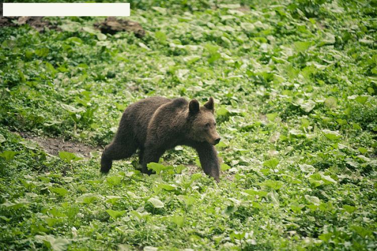 CLUJ: Gospodării atacate de urși, la Băișoara VIDEO