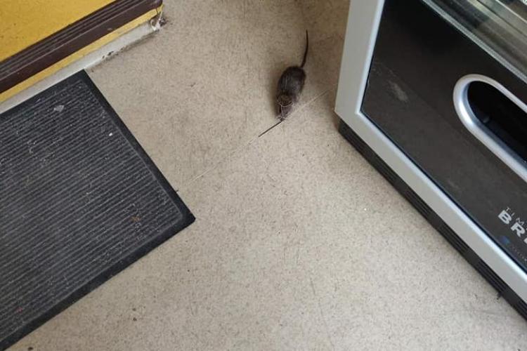 La Spitalul de Copii din Cluj-Napoca umbla și un șobolan. Animalul are și un nume: Dominic - FOTO