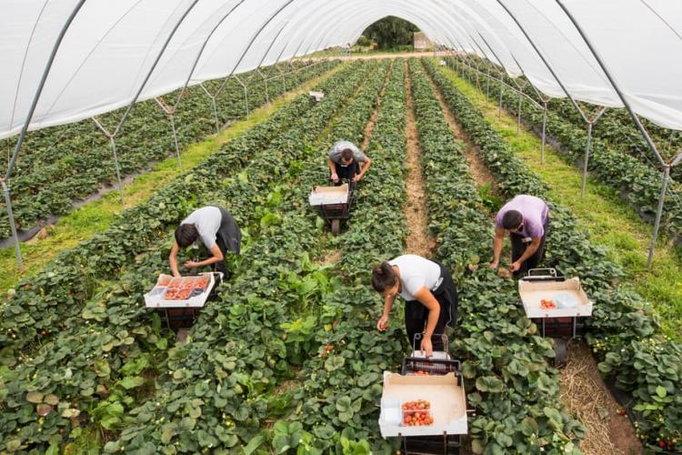 Britanicii îi cheamă pe români să culeagă legumele
