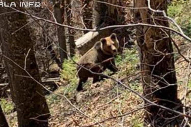Urs prins dând târcoale lângă un sat din Cluj, în plină zi FOTO