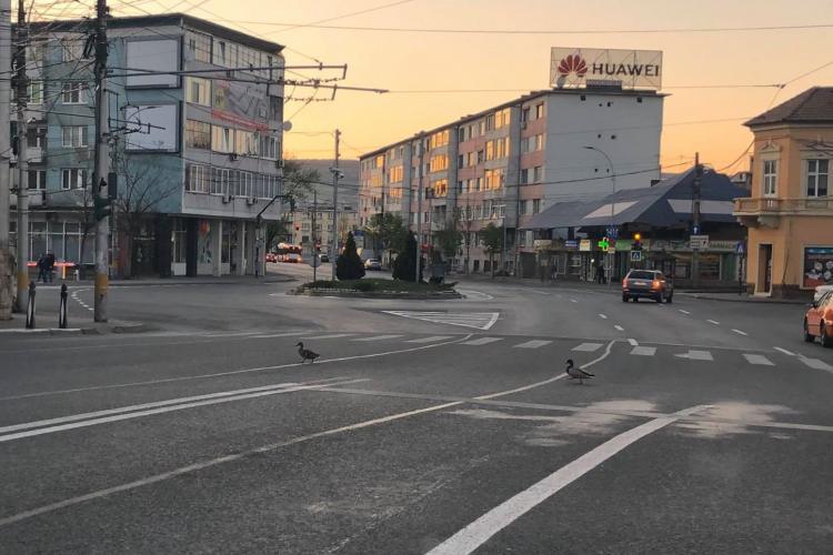 Natura pune stăpânire pe Cluj-Napoca. Rațele traversează strada în liniște - FOTO