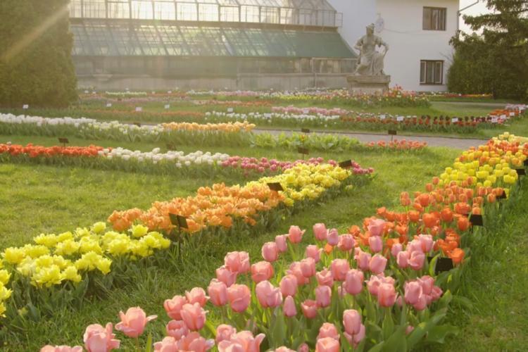 S-a deschis sezonul lalelelor în Grădina Botanică. E o feerie - VIDEO