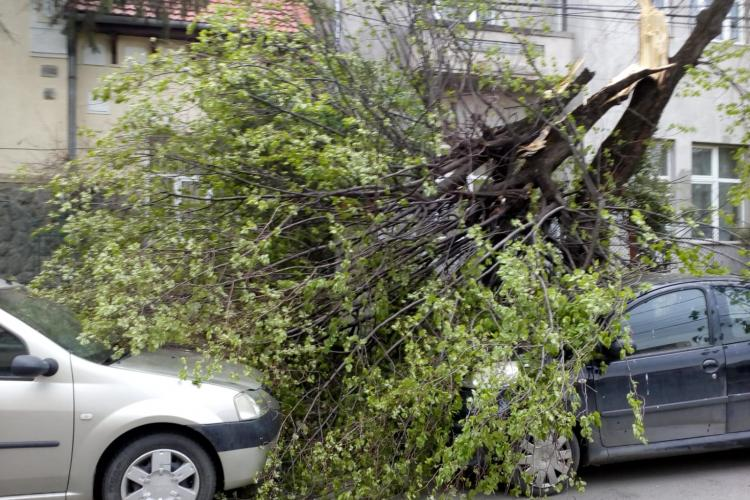 Copac doborât de vânt pe o stradă din Cluj-Napoca. A căzut peste două mașini FOTO