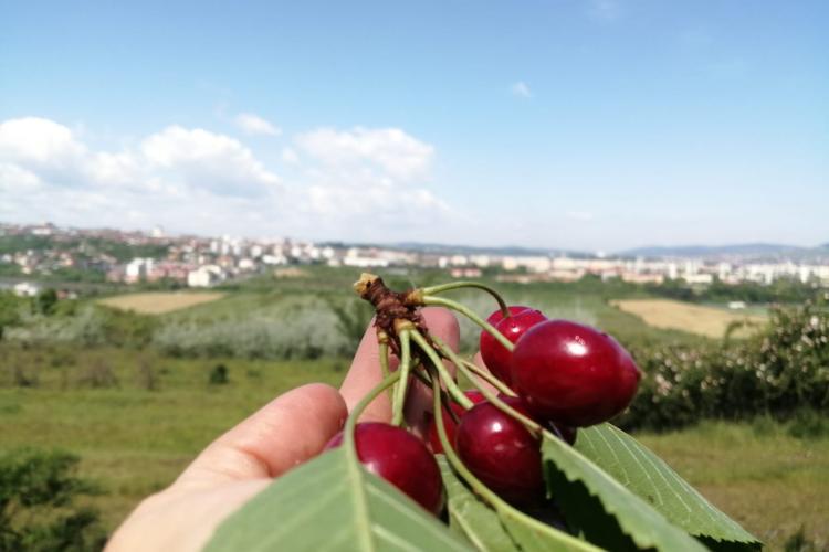 USAMV Cluj comercializează cireșe din producția proprie - FOTO