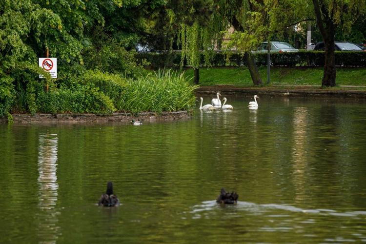 Lebedele negre pe lacul Chios din Cluj-Napoca. Vezi poze cu frumoasele exemplare FOTO