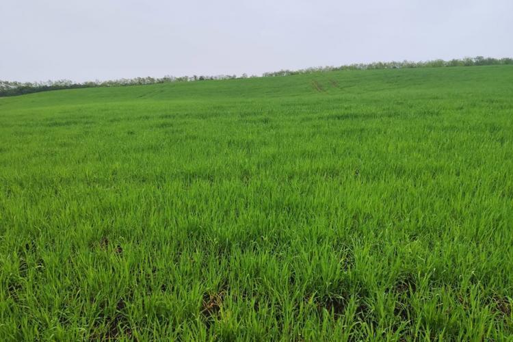 O clujeancă s-a trezit cu plantația de lavandă rasă la pământ de un țăran care a semanat orz - FOTO
