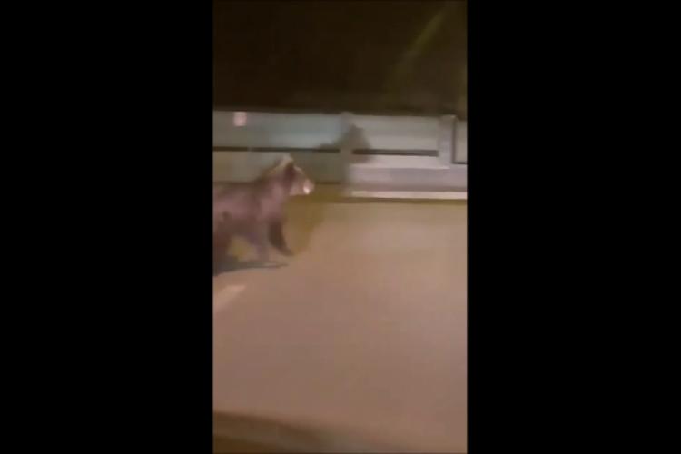 Avertisment Ro-Alert în cazul ursului filmat pe stradă în Câmpia Turzii. Forțele de ordine l-au căutat până târziu în noapte dar nu l-au găsit