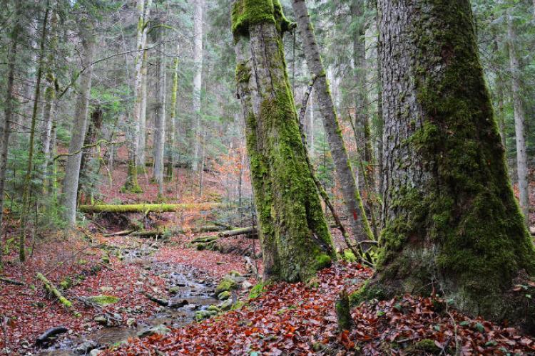 Nu se mai taie lemne din pădurile seculare ale României. Ce suprafață este protejată