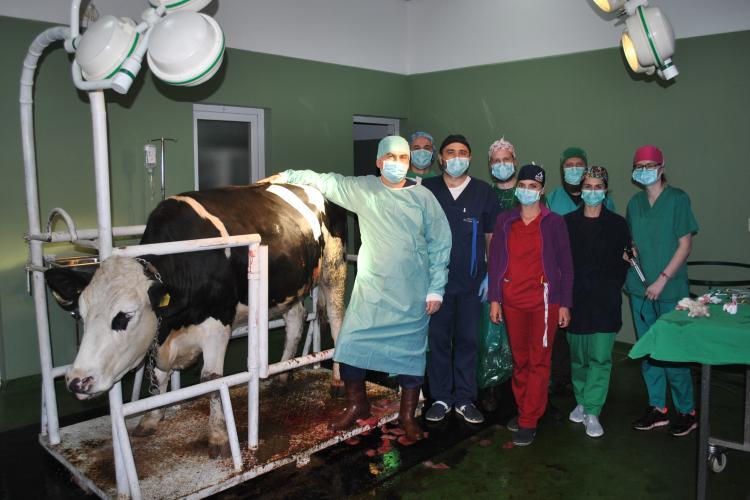 Cluj: Operație pe o vacă, din rasa Holstein, transmisă în premieră online studenților - FOTO