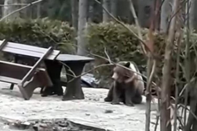 Au împușcat un pui de urs șchiop și care nu atacase pe nimeni. Ministerul Mediului a motivat că se obișnuise cu oamenii