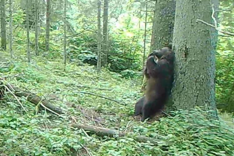 """Ursul Baloo filmat într-o pădure din România la o """"ședință"""" de scărpinat - VIDEO"""