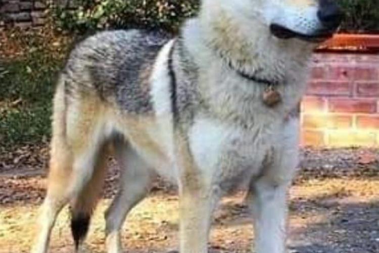 Veste tristă despre câinele găsit la Pitești. Nu este Arya! Familia a anuntat că lupul cehoslovac este încă liber - FOTO