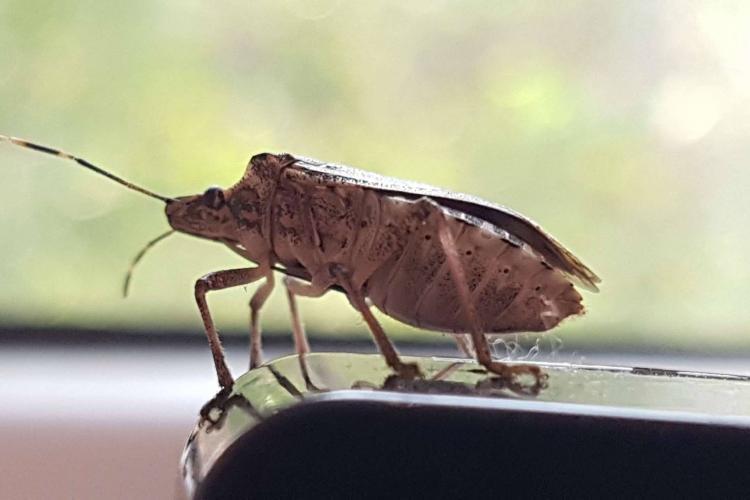Invazie de gândaci puturoși la Cluj! Se face tratamente fitosanitare la arborii și arbuștii din oraș