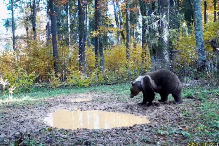 Imagini superbe cu un urs filmat în Parcul Natural Apuseni - VIDEO