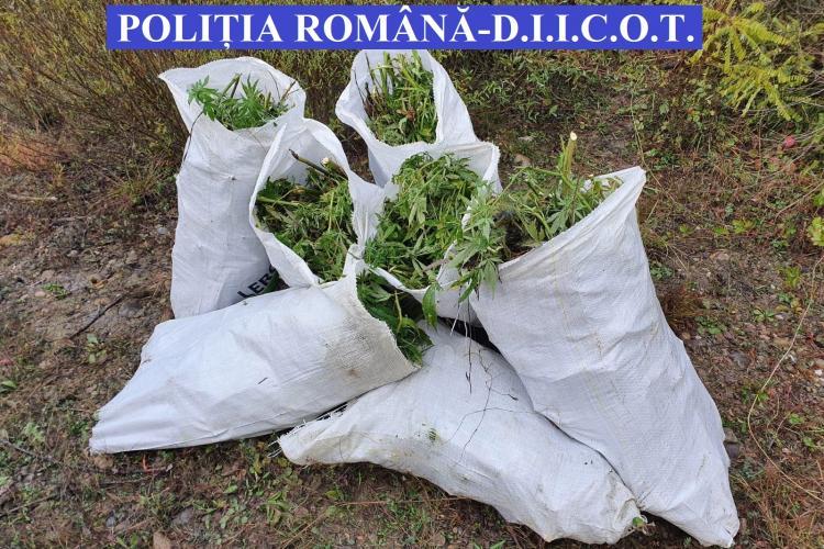 CLUJ: Aproape 150 de kilograme de cannabis confiscate de polițiști FOTO/VIDEO